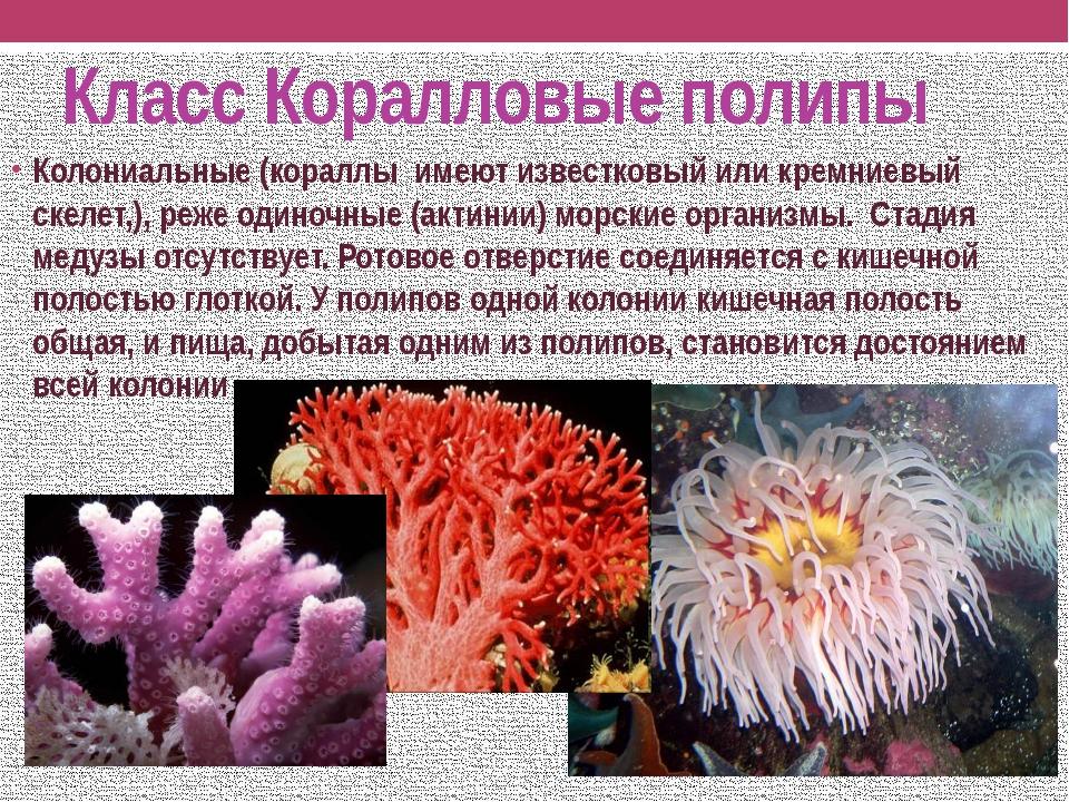 Класс Коралловые полипы Колониальные (кораллы имеют известковый или кремниевы...