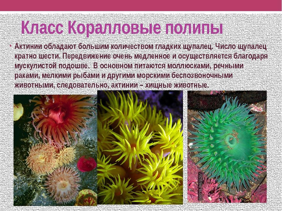 Класс Коралловые полипы Актинии обладают большим количеством гладких щупалец....