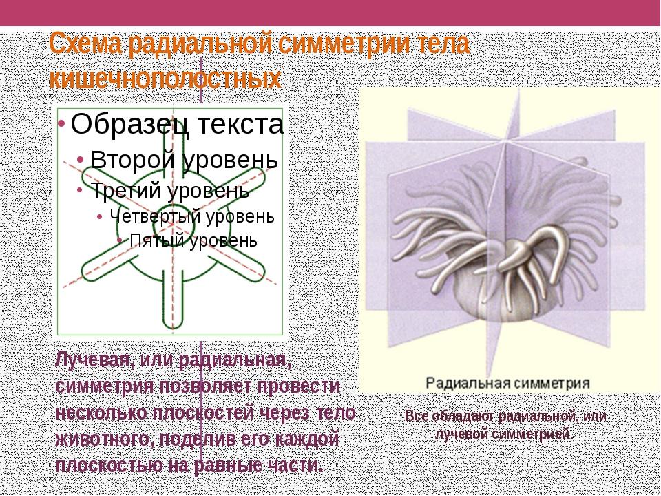 Схема радиальной симметрии тела кишечнополостных Все обладают радиальной, или...