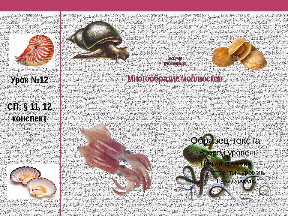 Двустворчатые моллюски картинки представители