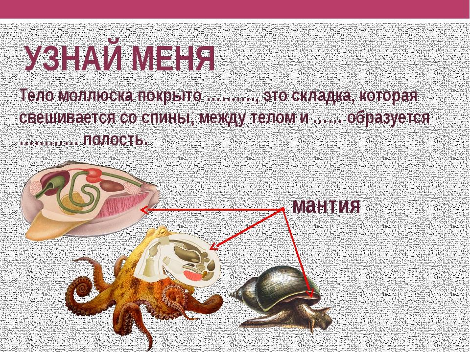 брюхоногие моллюски картинки с названиями индии для