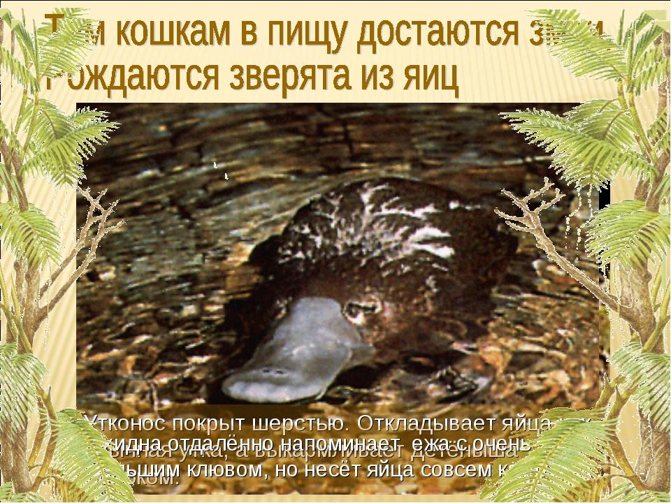 Утконос покрыт шерстью. Откладывает яйца как обычная утка, а выкармливает дет...