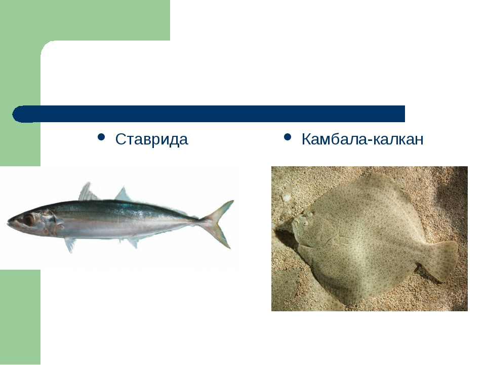 Ставрида Камбала-калкан