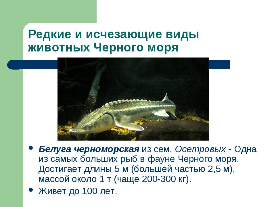 Редкие и исчезающие виды животных Черного моря Белуга черноморская из сем. Ос...