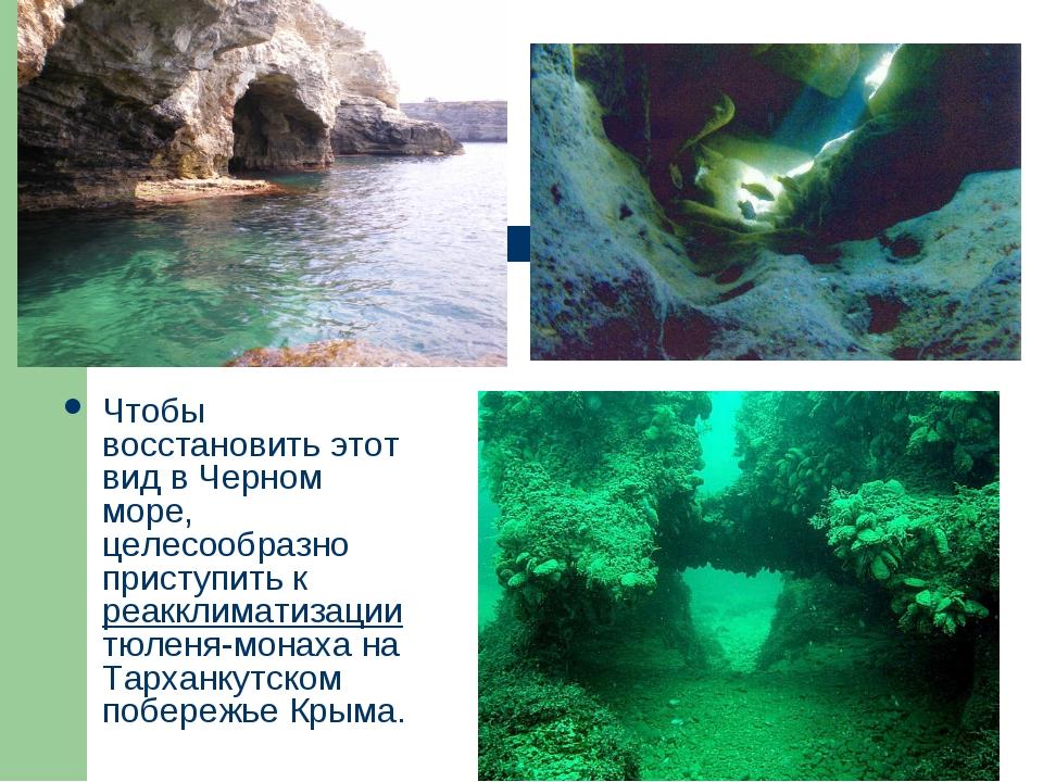 Чтобы восстановить этот вид в Черном море, целесообразно приступить к реаккли...