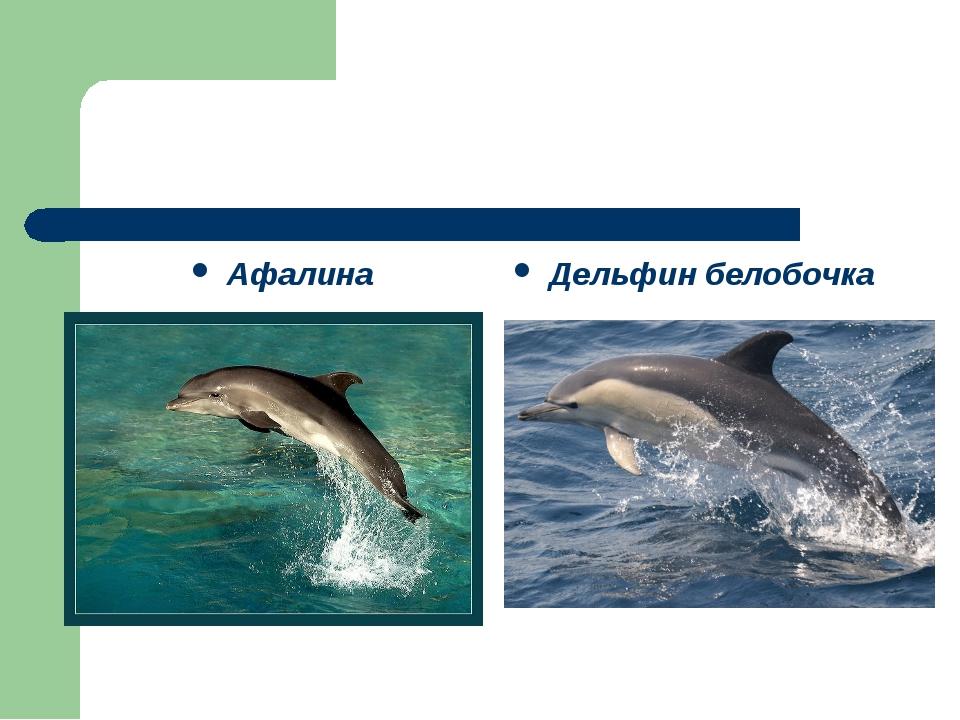 Афалина Дельфин белобочка