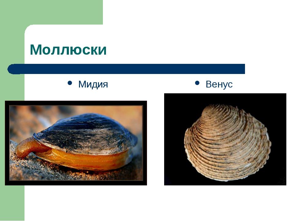 Моллюски Мидия Венус