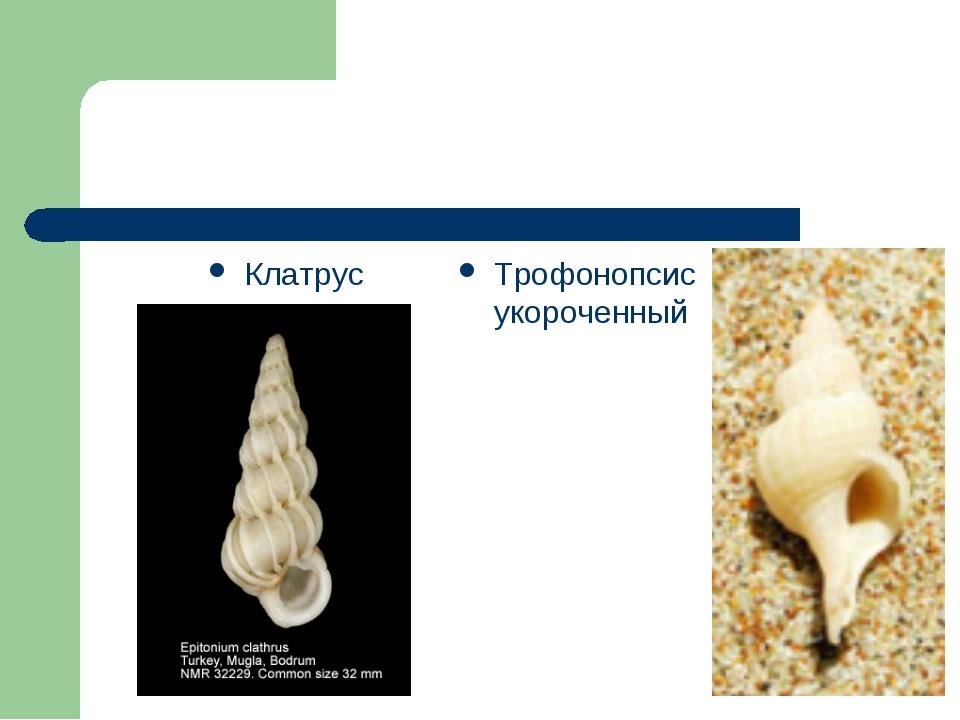 Клатрус Трофонопсис укороченный