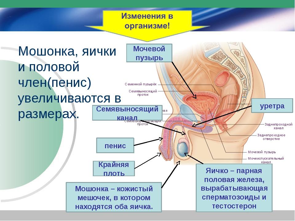 Мошонка, яички и половой член(пенис) увеличиваются в размерах. Мочевой пузыр...