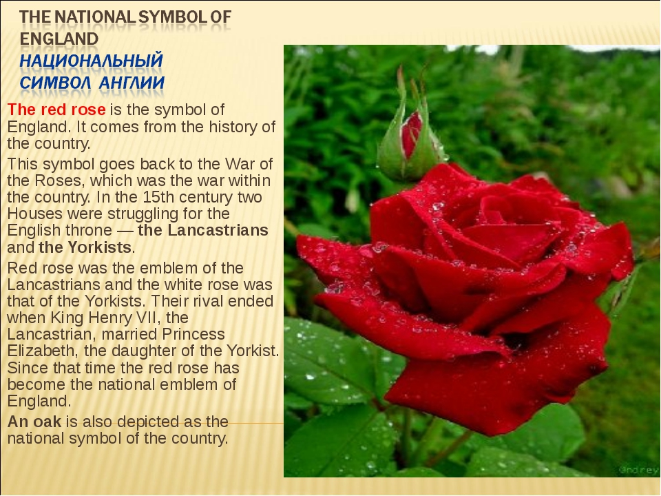 The red rose is the symbol of England. It comes from the history of the count...