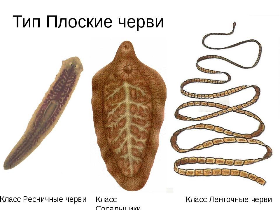 Тип Плоские черви Класс Сосальщики Класс Ленточные черви Класс Ресничные черви