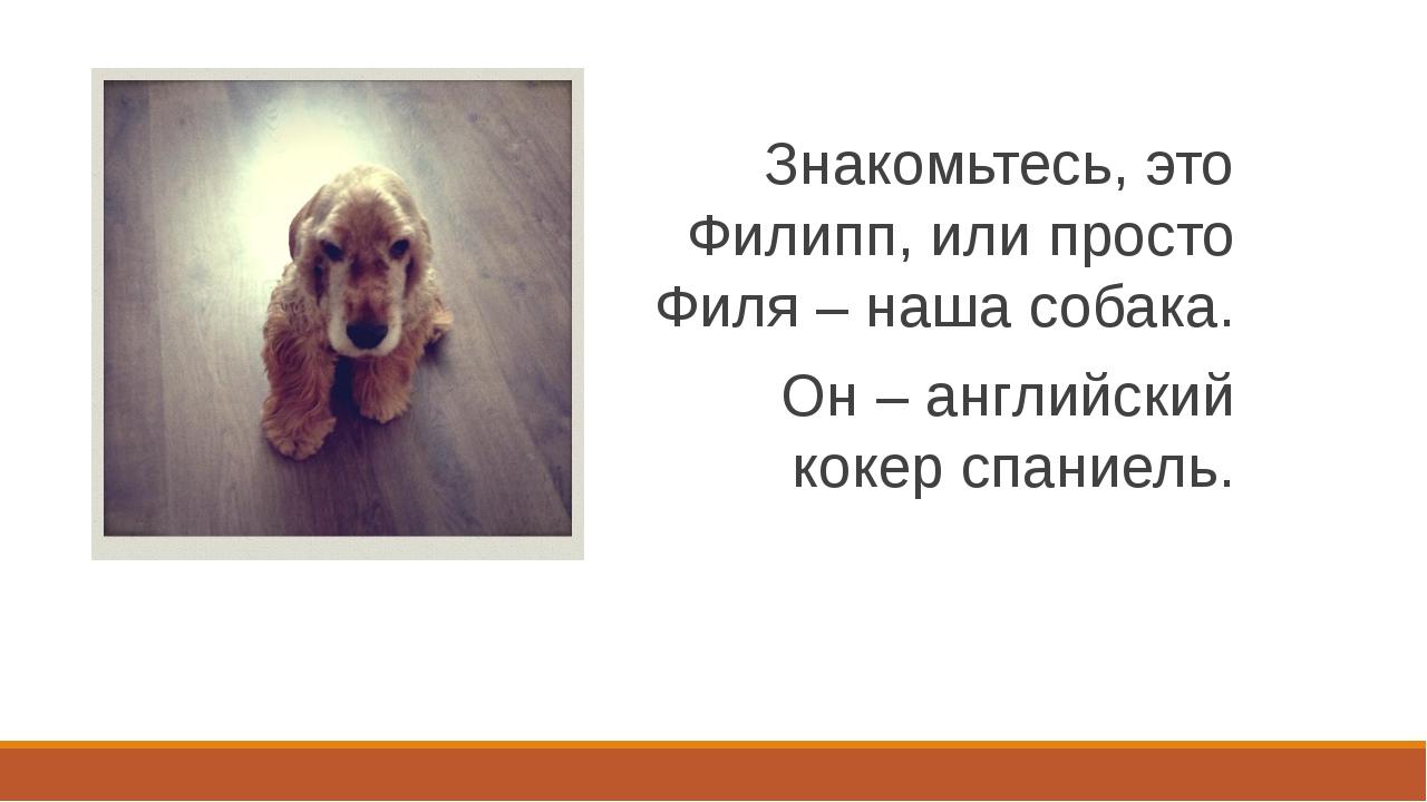 Знакомьтесь, это Филипп, или просто Филя – наша собака. Он – английский кокер...