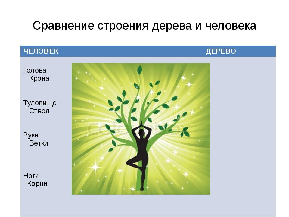 Сравнение строения дерева и человека ЧЕЛОВЕК ДЕРЕВО Голова Крона Туловище Ств...