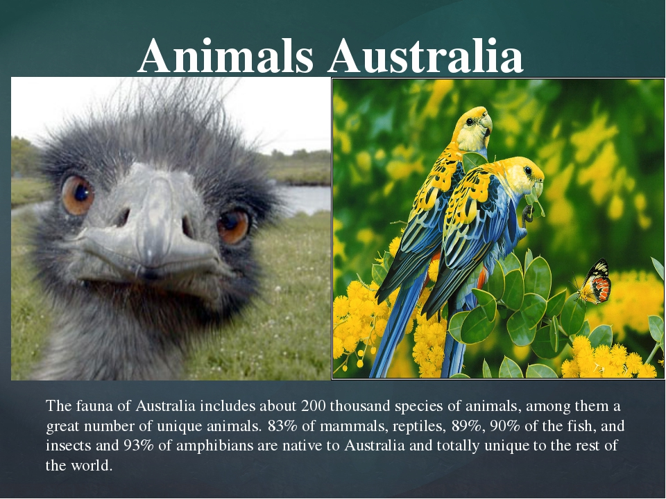 Animals Australia The fauna of Australia includes about 200 thousand species...