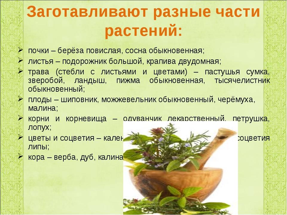 Заготавливают разные части растений: почки – берёза повислая, сосна обыкновен...