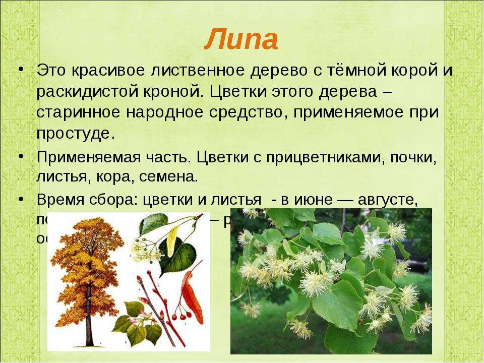 Липа Это красивое лиственное дерево с тёмной корой и раскидистой кроной. Цвет...