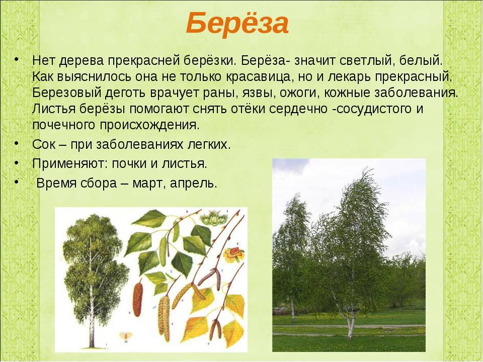 Берёза Нет дерева прекрасней берёзки. Берёза- значит светлый, белый. Как выяс...