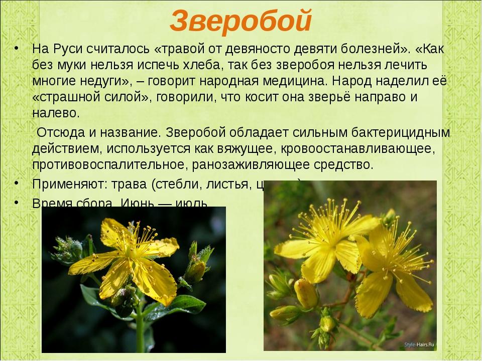 Зверобой На Руси считалось «травой от девяносто девяти болезней». «Как без му...