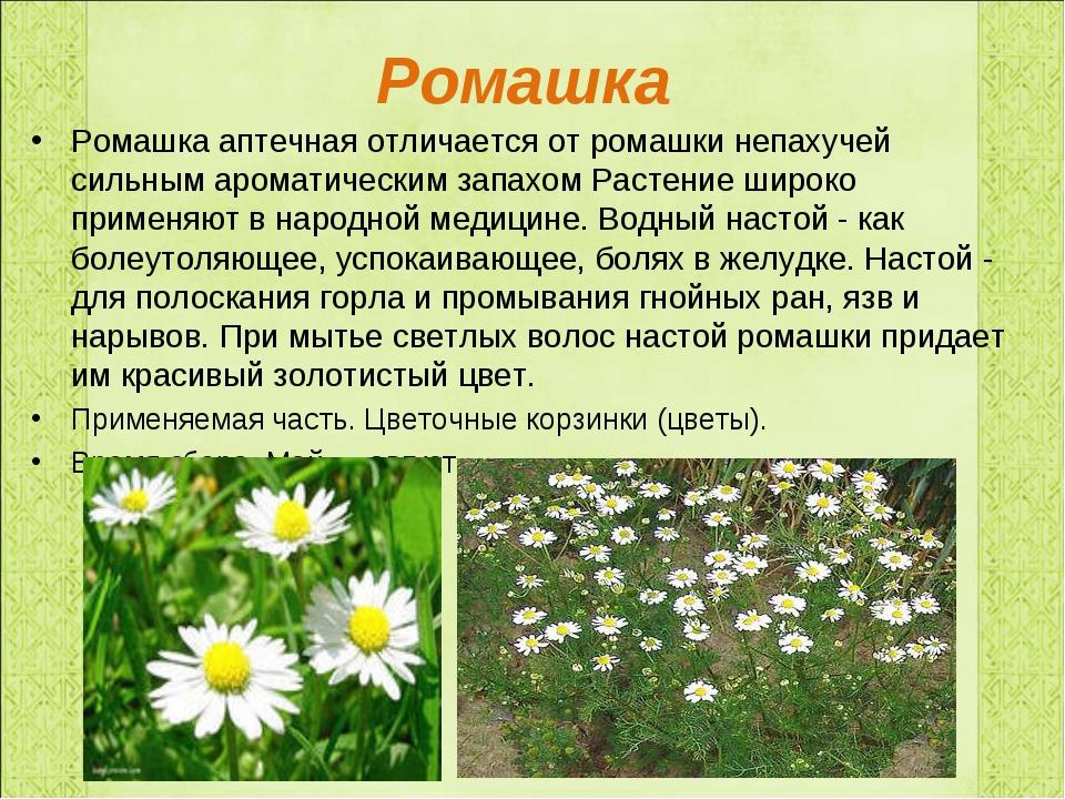 Ромашка Ромашка аптечная отличается от ромашки непахучей сильным ароматически...