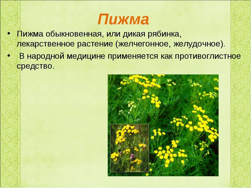 Пижма Пижма обыкновенная, или дикая рябинка, лекарственное растение (желчегон...