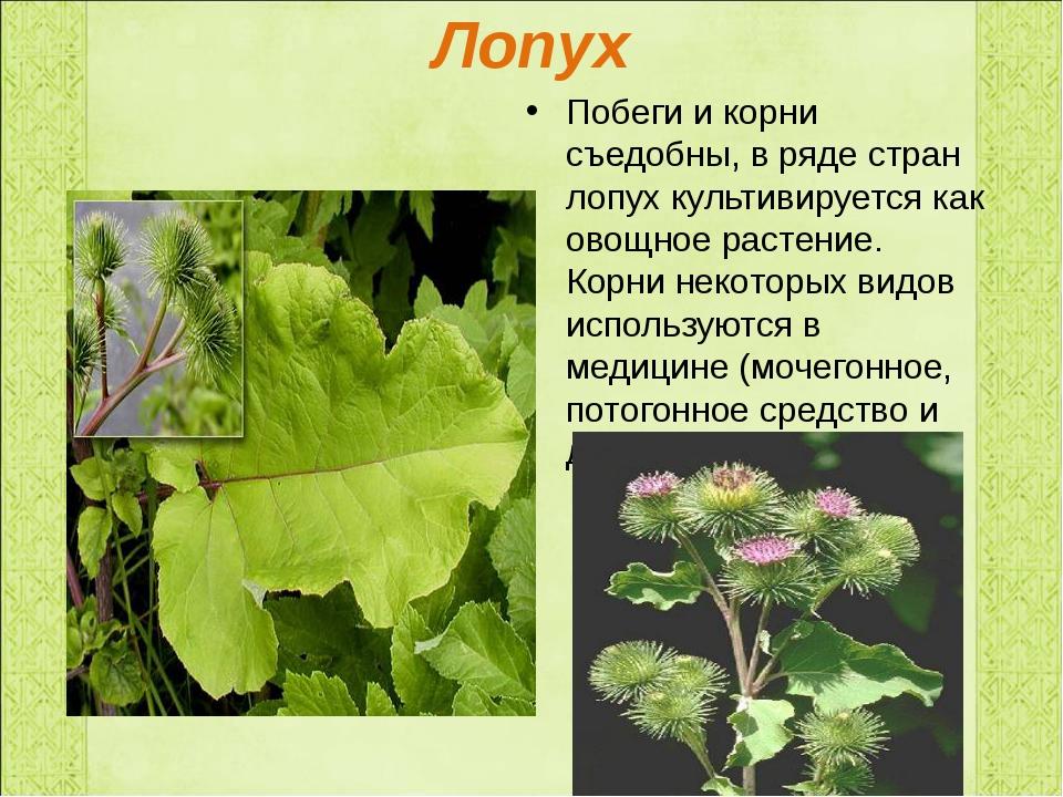 Лопух Побеги и корни съедобны, в ряде стран лопух культивируется как овощное...