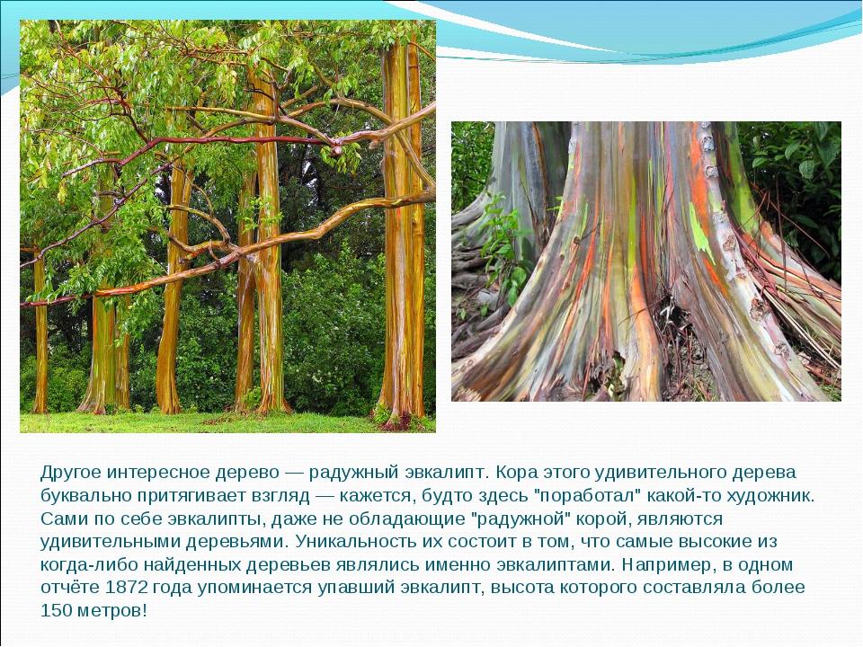Другое интересное дерево — радужный эвкалипт. Кора этого удивительного дерева...