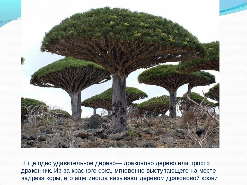 . Ещё одно удивительное дерево— драконово дерево или просто драконник. Из-за...
