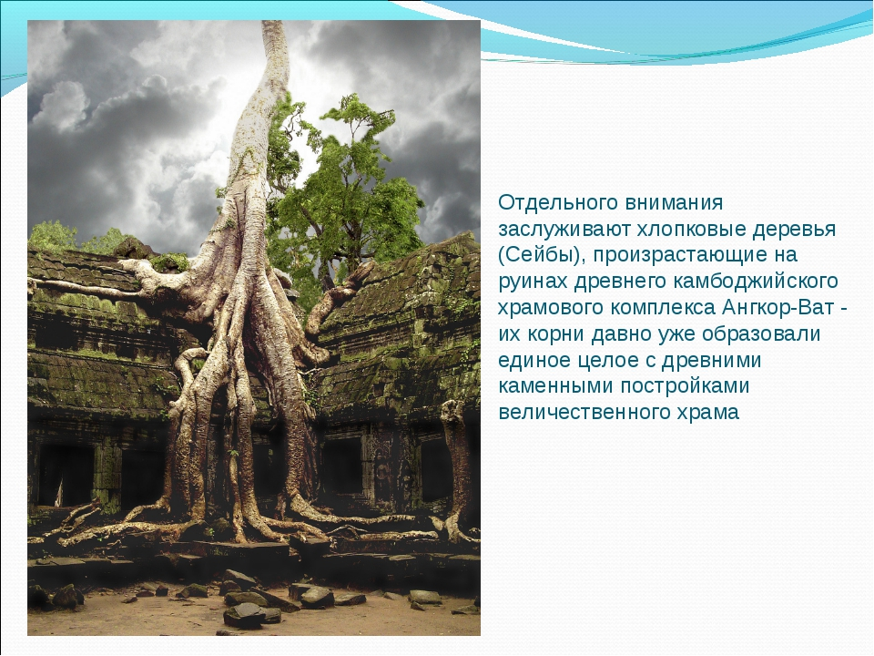 Отдельного внимания заслуживают хлопковые деревья (Сейбы), произрастающие на...