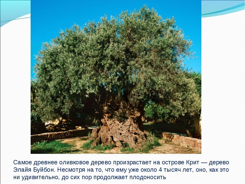 Самое древнее оливковое дерево произрастает на острове Крит — дерево Элайя Бу...