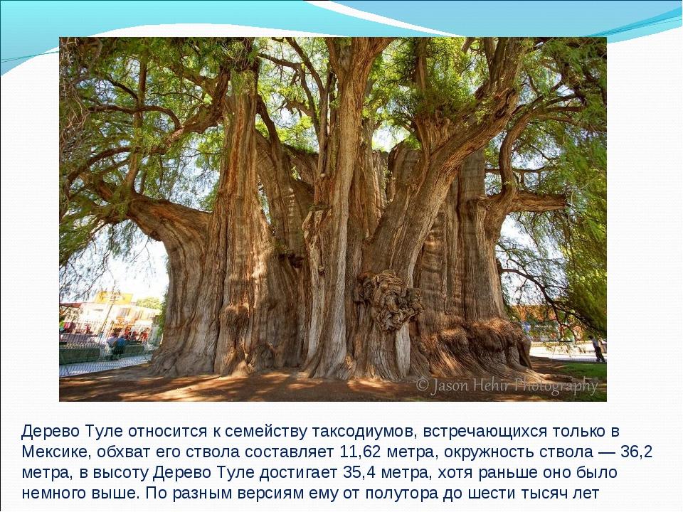Дерево Туле относится к семейству таксодиумов, встречающихся только в Мексике...