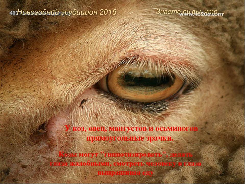 """У коз, овец, мангустов и осьминогов прямоугольные зрачки. Козы могут """"гипноти..."""