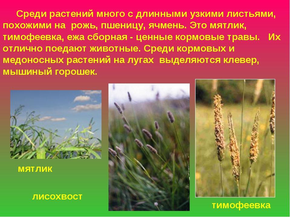 мятлик тимофеевка лисохвост Среди растений много с длинными узкими листьями,...