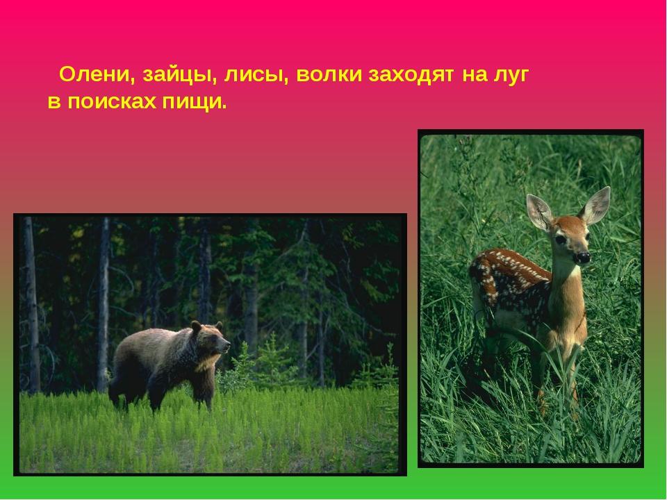 Олени, зайцы, лисы, волки заходят на луг в поисках пищи.