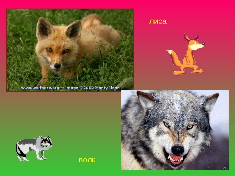лиса волк