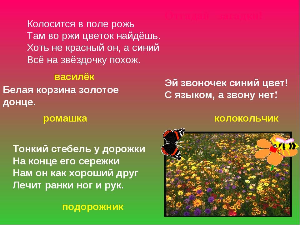 Колосится в поле рожь Там во ржи цветок найдёшь. Хоть не красный он, а синий...