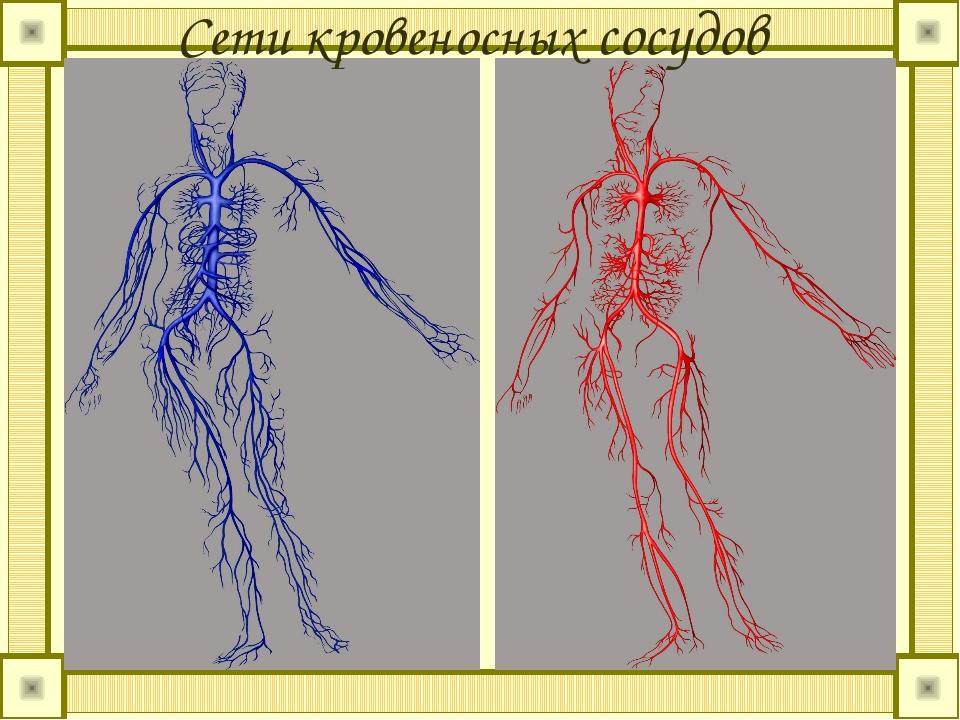 Сети кровеносных сосудов