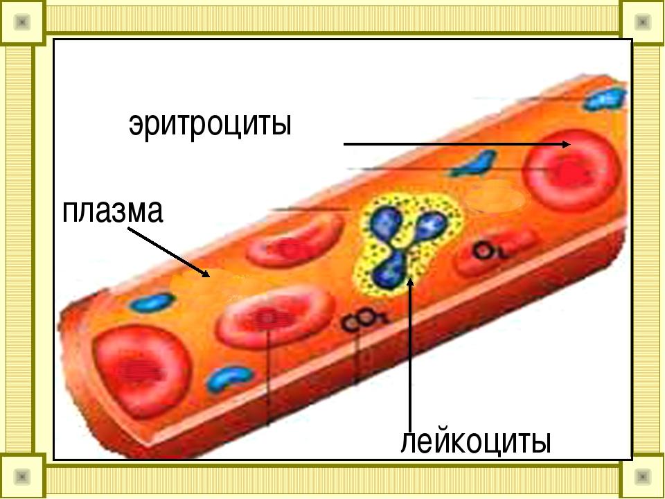 эритроциты плазма лейкоциты