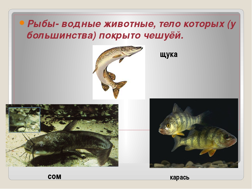 Рыбы- водные животные, тело которых (у большинства) покрыто чешуёй. щука сом...