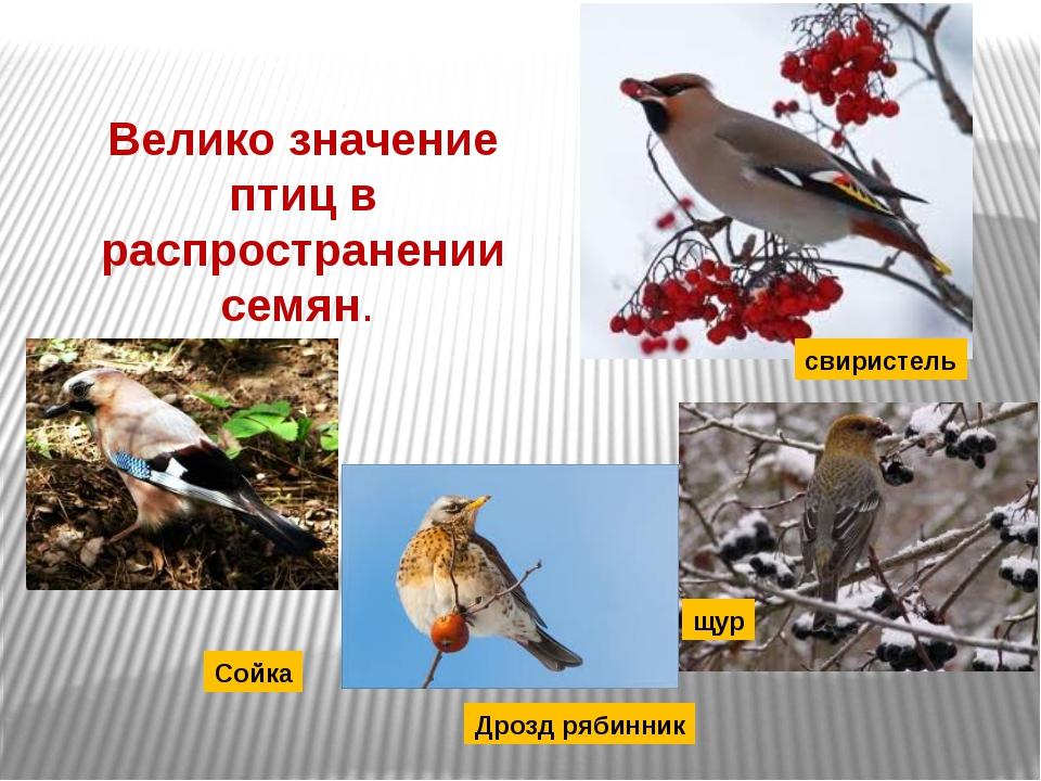 Велико значение птиц в распространении семян. свиристель щур Дрозд рябинник С...