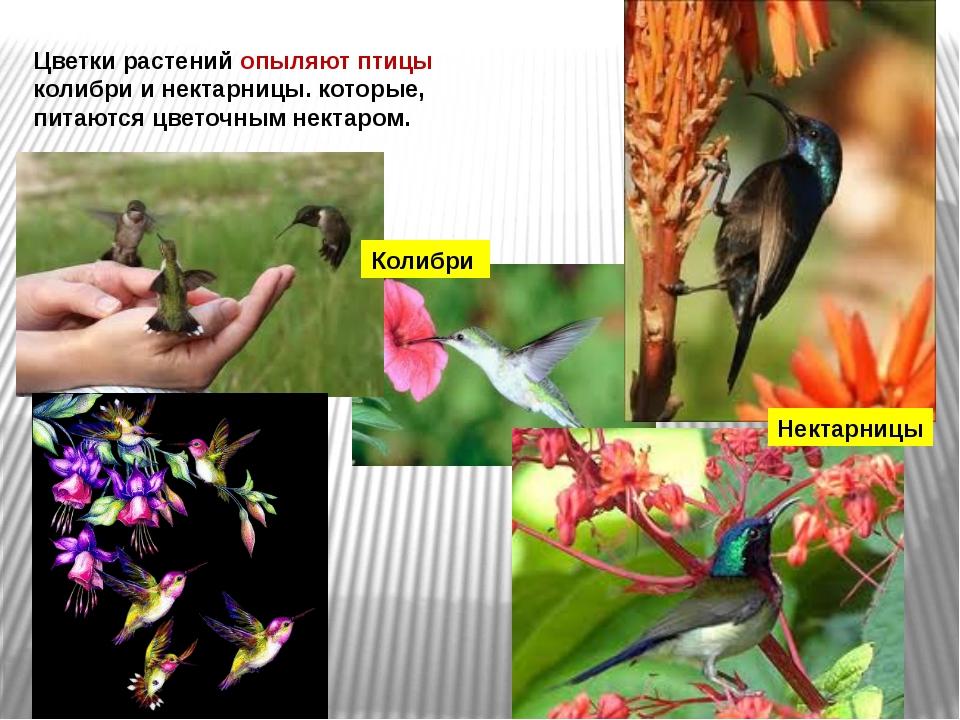 Цветки растений опыляют птицы колибри и нектарницы. которые, питаются цветочн...