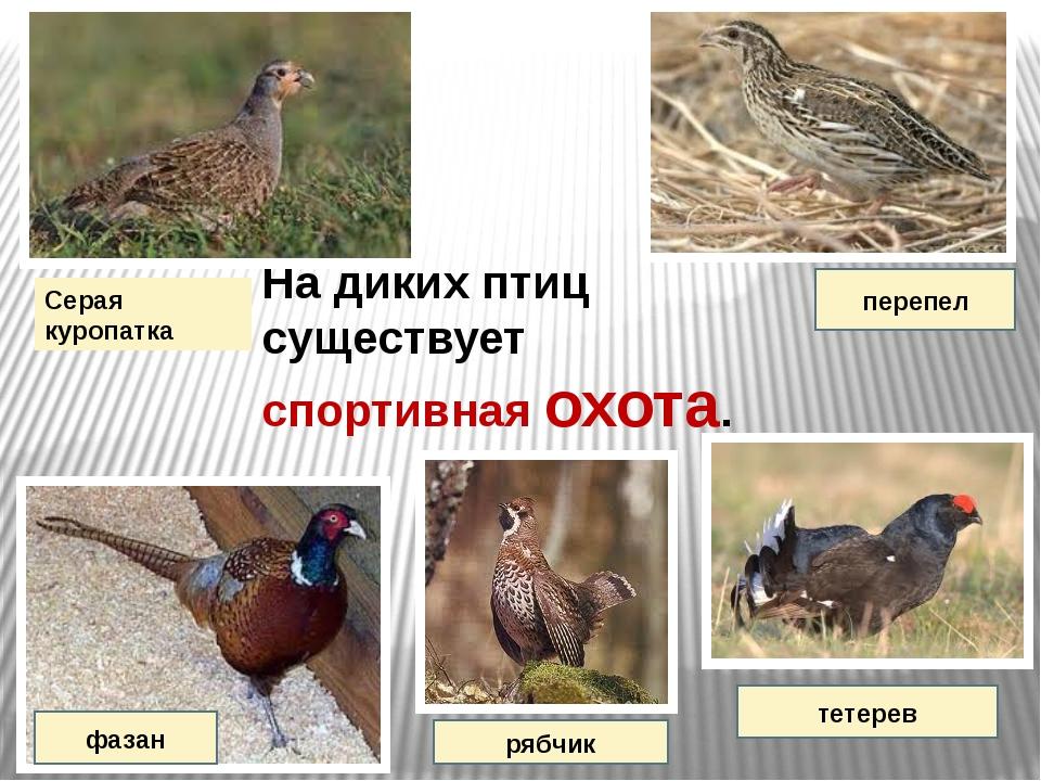 На диких птиц существует спортивная охота. Серая куропатка фазан перепел рябч...