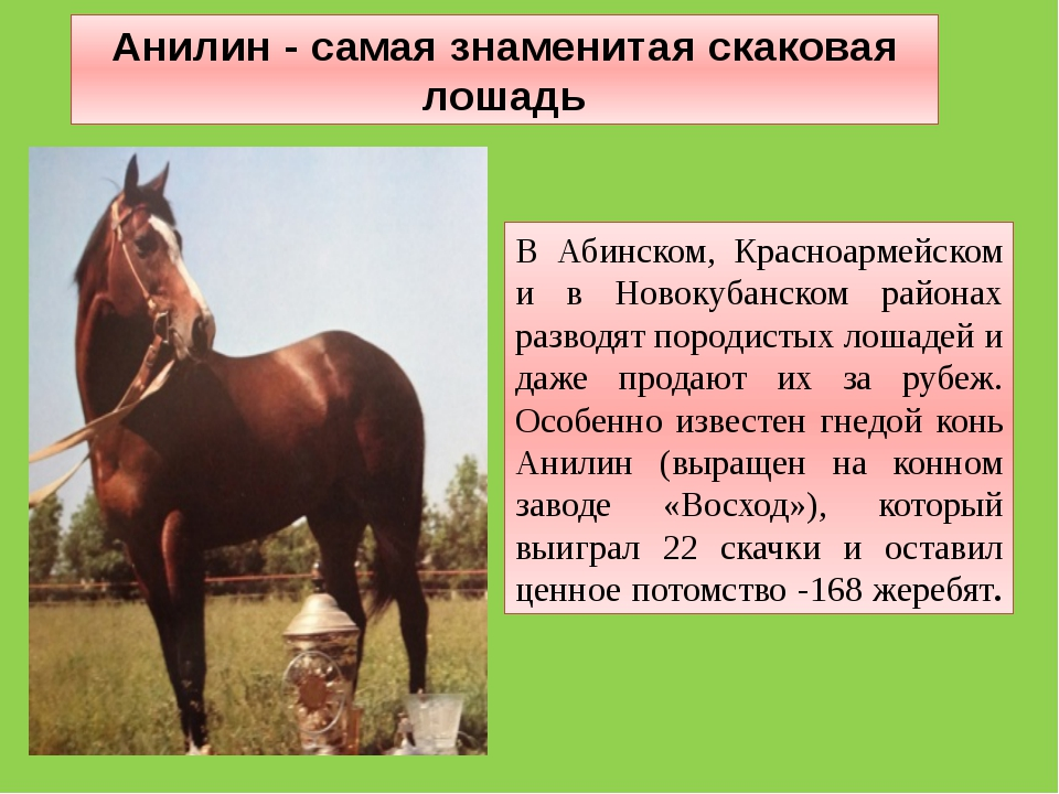 В Абинском, Красноармейском и в Новокубанском районах разводят породистых лош...