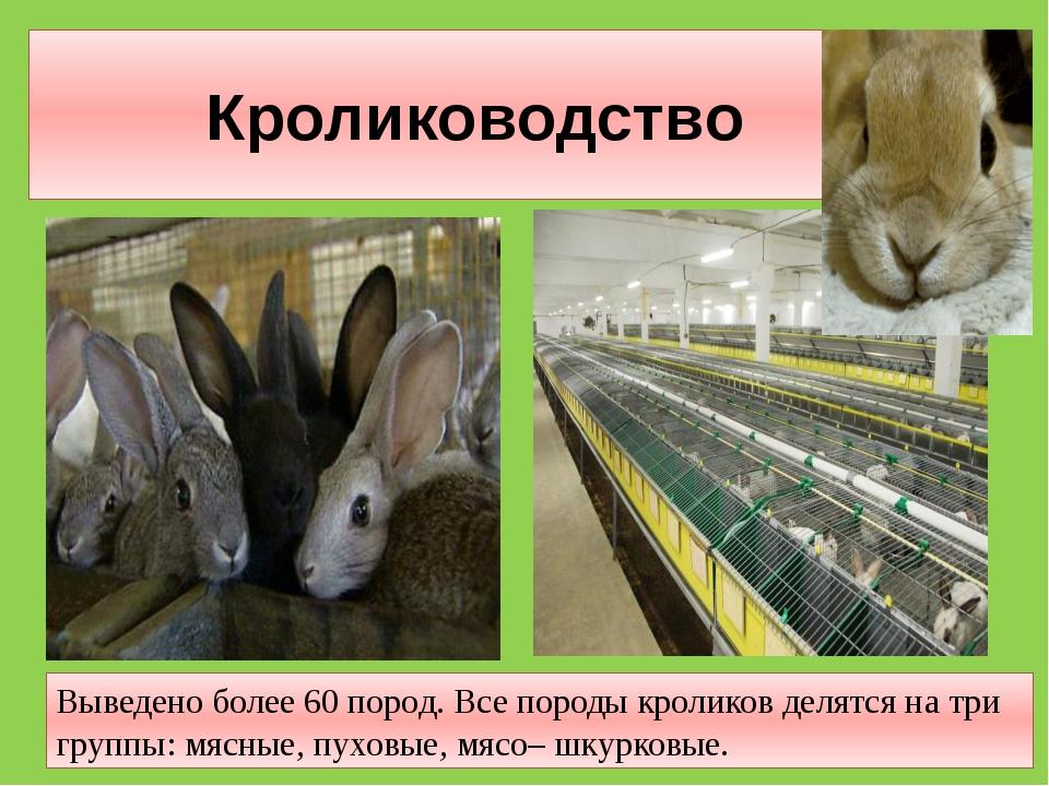 Кролиководство Выведено более 60 пород. Все породы кроликов делятся на три гр...