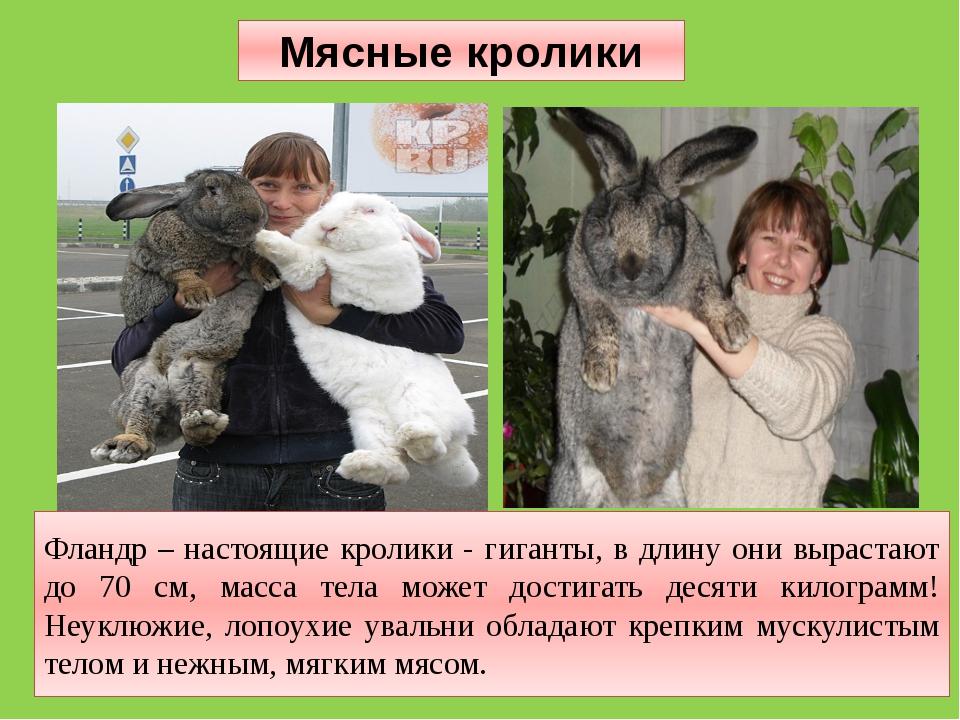 Фландр – настоящие кролики - гиганты, в длину они вырастают до 70 см, масса т...