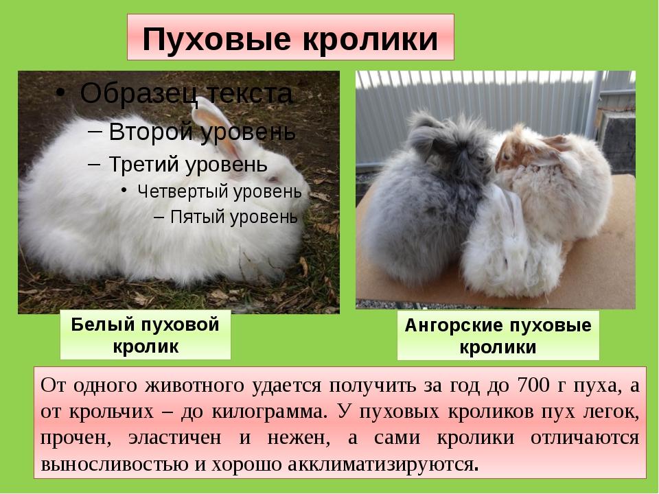 От одного животного удается получить за год до 700 г пуха, а от крольчих – до...