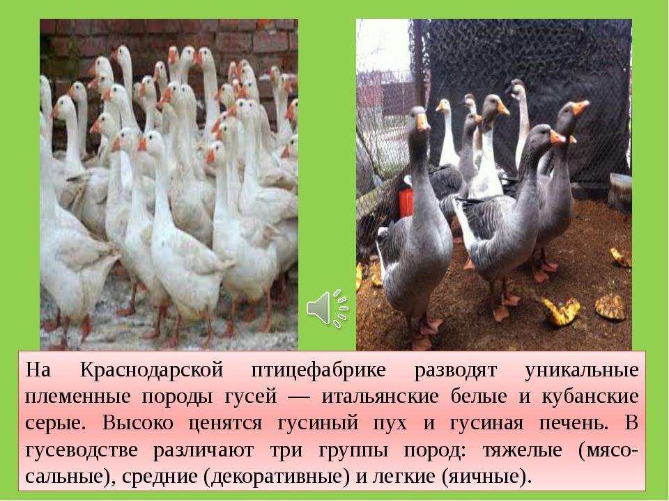 На Краснодарской птицефабрике разводят уникальные племенные породы гусей — ит...