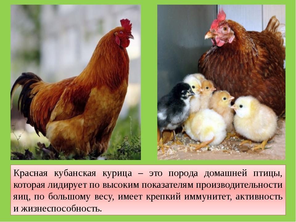 Красная кубанская курица – это порода домашней птицы, которая лидирует по выс...