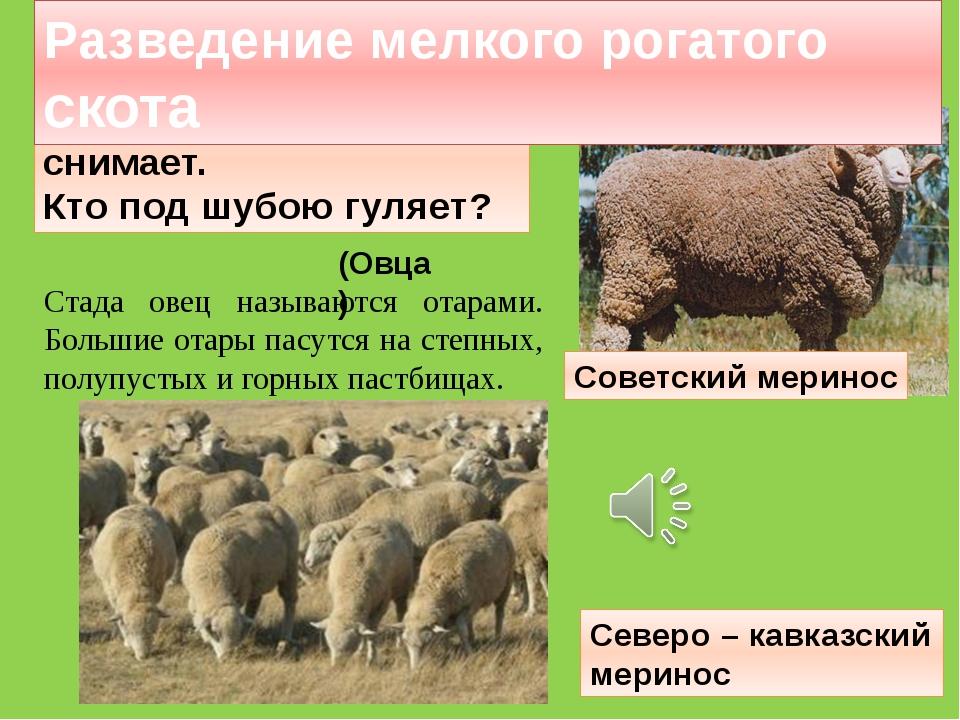 Стада овец называются отарами. Большие отары пасутся на степных, полупустых и...