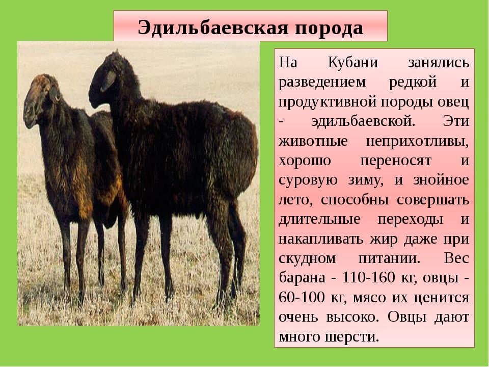 Эдильбаевская порода На Кубани занялись разведением редкой и продуктивной пор...