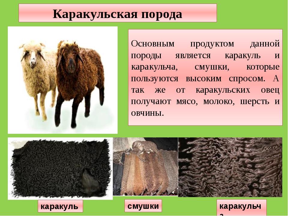 Основным продуктом данной породы является каракуль и каракульча, смушки, кото...